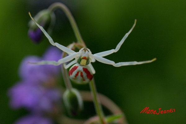 Tomise (Araigée fleur)