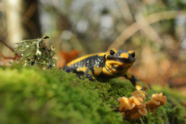 Salamandre - photo nature en Sologne ©Alexandre Roubalay - Acadiau d'images