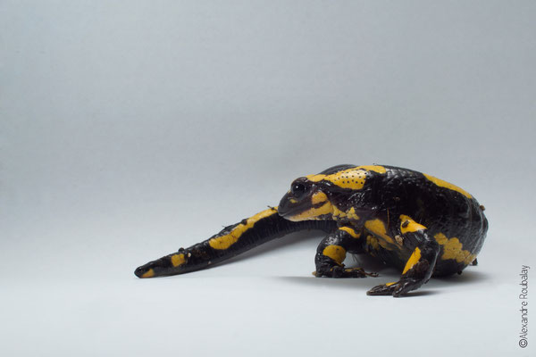 Salamandre ©Alexandre Roubalay - photo nature en Sologne, Loir-et-Cher, et ailleurs...- Alexandre Roubalay
