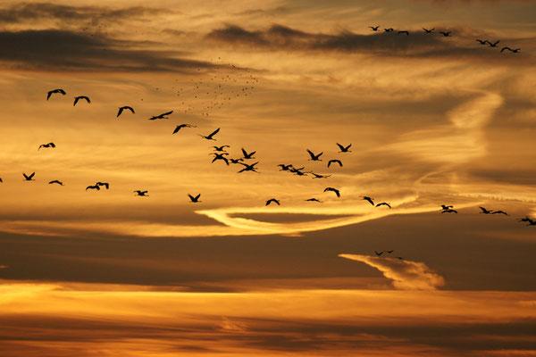 Grues au levé du soleil - paysage photo nature en Sologne ©Alexandre Roubalay - Acadiau d'images