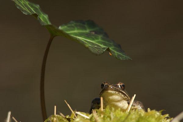 Grenouille - photo nature en Sologne ©Alexandre Roubalay - Acadiau d'images
