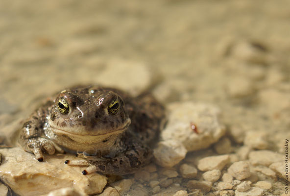 Crapaud calamite - photo nature en Sologne ©Alexandre Roubalay - Acadiau d'images