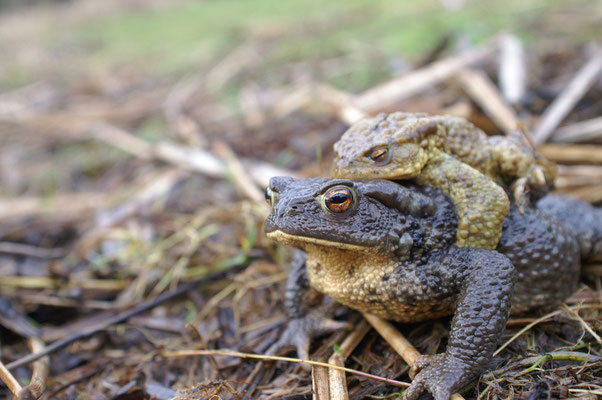 Crapaud commun - photo nature en Sologne ©Alexandre Roubalay - Acadiau d'images