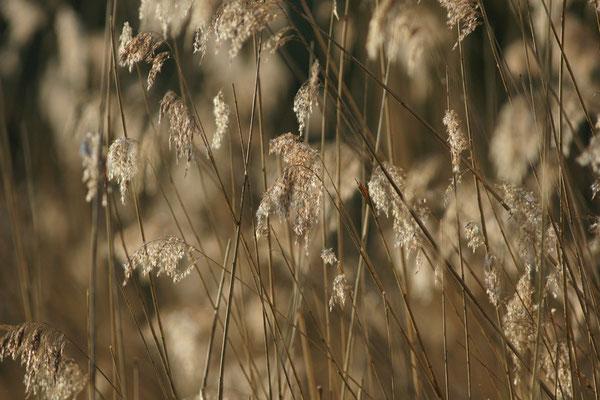 Phragmitte - paysage photo nature en Sologne ©Alexandre Roubalay - Acadiau d'images