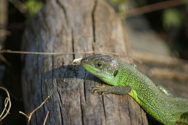 Lézard vert - photo nature en Sologne ©Alexandre Roubalay - Acadiau d'images