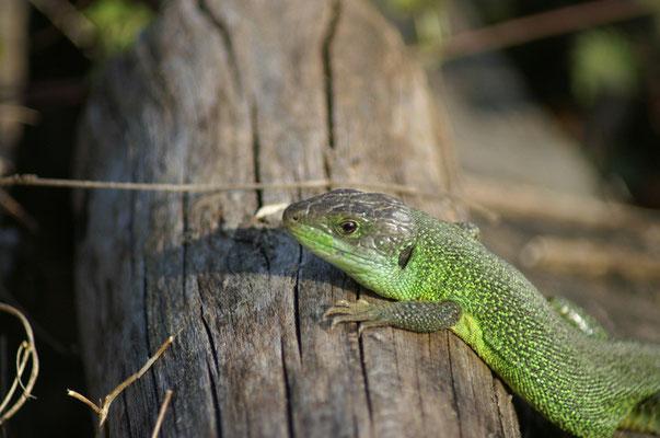 Lézard vert - photo nature en Sologne ©Alexandre Roubalay - Acadiau d'images