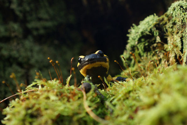 Salamandre - photo nature en Sologne ©Alexandre Roubalay - Acadiau d'images