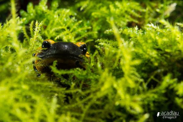 Salamandre tacheté - photo nature en Sologne ©Alexandre Roubalay - Acadiau d'images