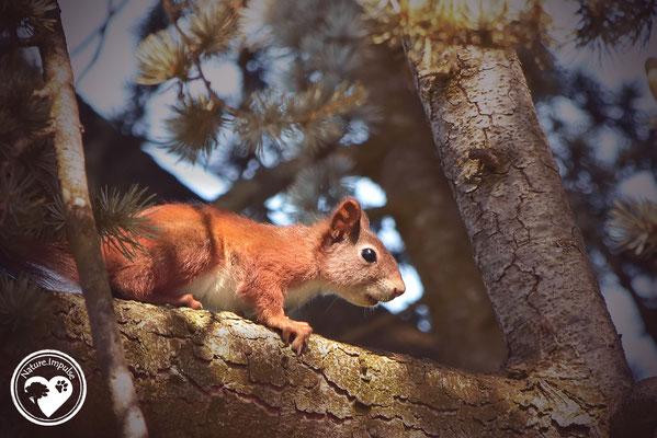 Nature.Impulse - Eichhörnchen