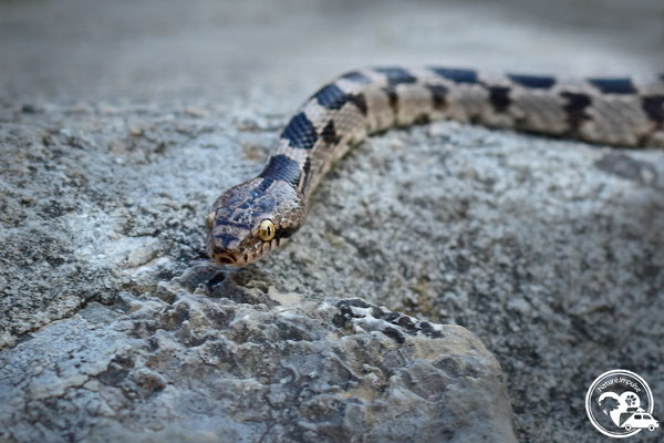 Nature. Impulse - Katzennatter - Schlange