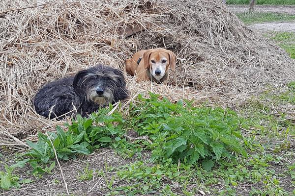 Nature.Impulse - Urlaub gegen Hand auf dem Hof in Sachsen Anhalt - Müsly & Korny dösen im Heu