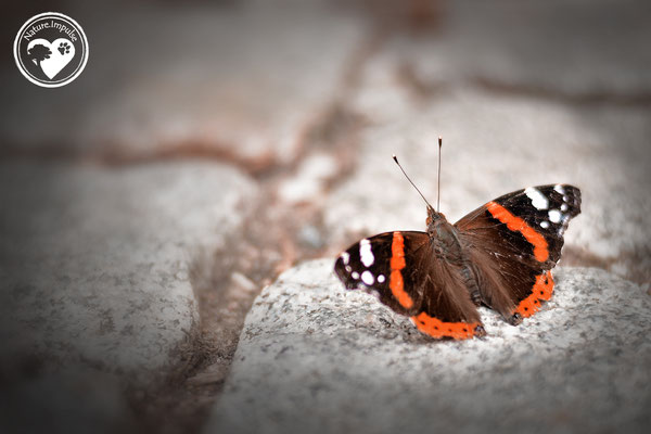 Nature.Impulse - Schmetterling