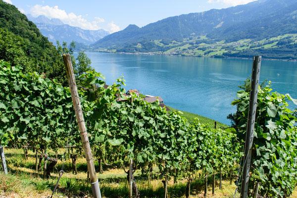 Weinbau am Walensee