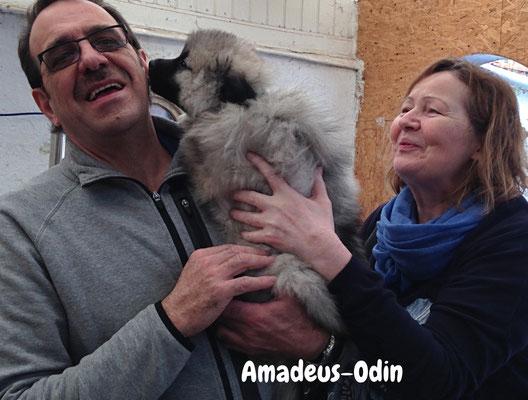 Wolfsspitzwelpe Amadeus-Odin von den Römerwölfen