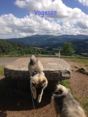 Wolfsspitz Ardeche von den Römerwölfen in den Vogesen