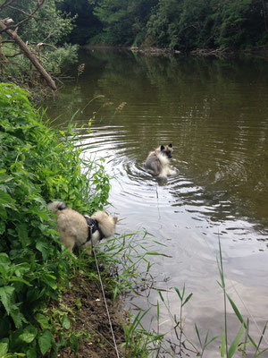 Wolfsspitz Ardeche von den Römerwölfen am Fluss