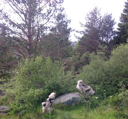 Wolfsspitz Ardeche von den Römerwölfen über Stock und Stein