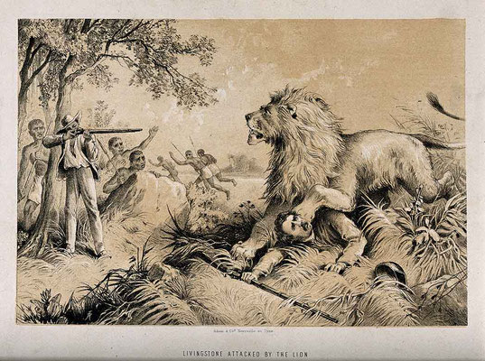 Lithograph of David Livingstone attacked by a lion in Africa.  Click pic to view Wikimedia source