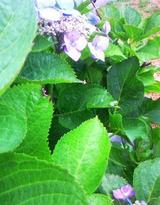 庭の紫陽花に小さなカエルがたくさんいました。