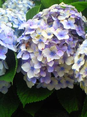 こちらは近隣の紫陽花。蜂が誘われてました。