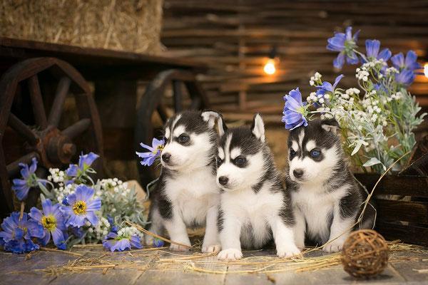 Купить щенка хаски в Москве не дорого