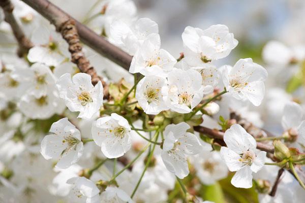 Kersenbloesem, lente, voorjaar