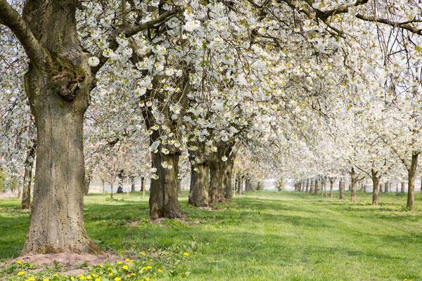 Boomgaard in Bloei, lente, voorjaar