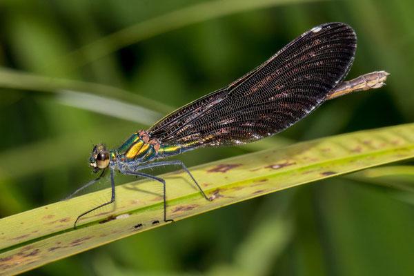 Weibchen - Foto Jelic