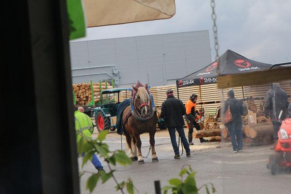 """unser """"Nachbar"""", ein stattliches Rückepferd, kam immer wieder vorbei und rückte einen Stamm über die Straße"""