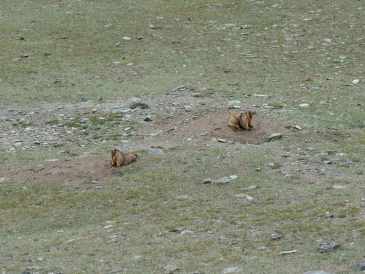 Les grosses grosses marmottes