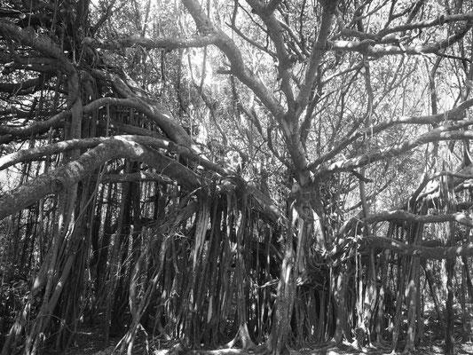 Ficus ou figuier maudit