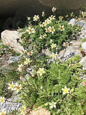 Alpine weisse Blumen, Sölden/Foto Lucia Moulin-Gallego
