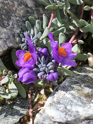 Alpine lila Blumen, Sölden/Foto Lucia Moulin-Gallego