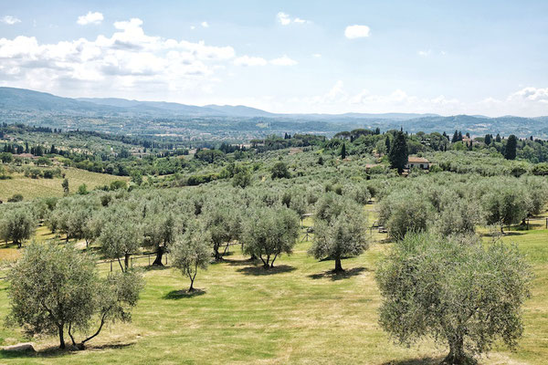 Olive orchard in Fiesole