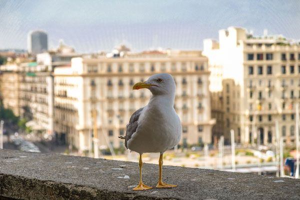 Seagull in Naples