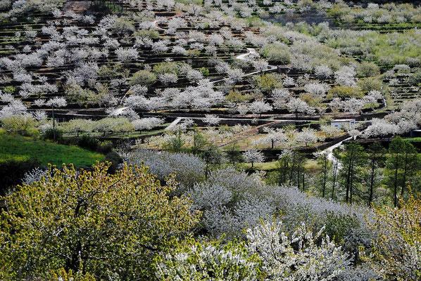 Cerezos de Valle del Jerte