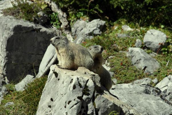 Murmeltiere - pfiffige Zaungäste