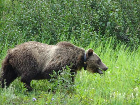 Grizzly mit Halsband (Hausbär?)