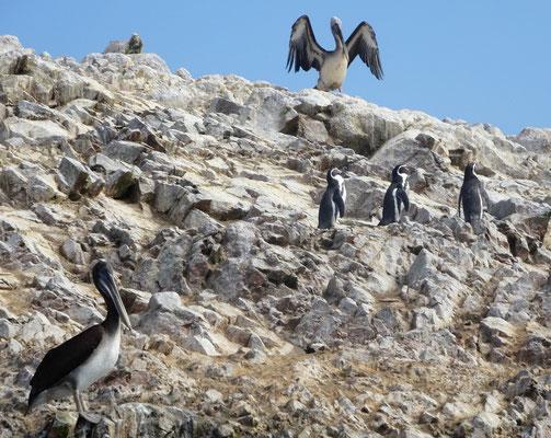 Zwischen all den Pelikanen verstecken sich 3 einsame Humbold-Pinguine