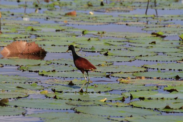 Diese Vögel haben was von Jesus - sie können wirklich über Wasser laufen