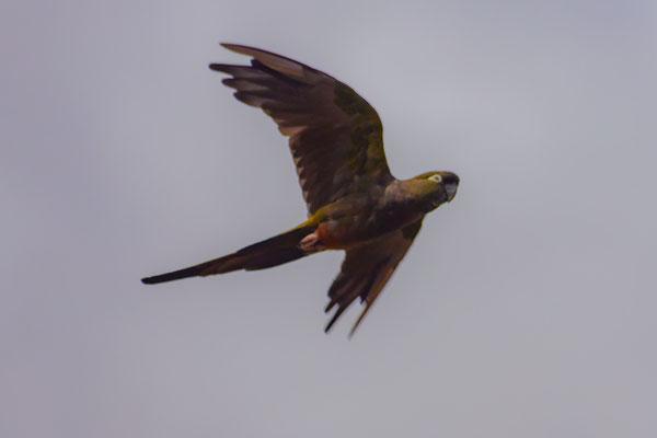 Papagei (spricht aber nur Spanisch)