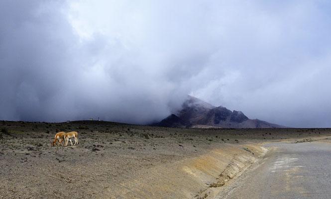 Vicugnas sind die wild lebenden Vetter der Alpacas