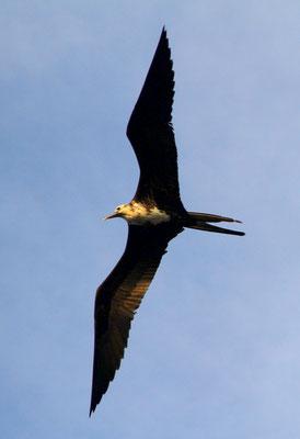 Jeder Ornithologe weiß, was das für ein Vogel ist. Ich denke, er kann fliegen.