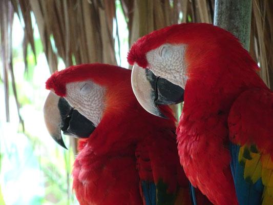 zwei Papagei