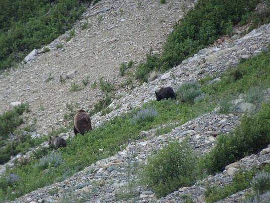 Mutter-Grizzly mit Kindern 2