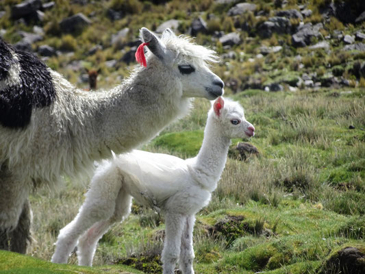 Alpakas neben der Straße nach Cusco