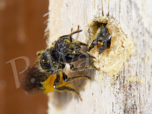 14.07.2017 : zwei Löcherbienen