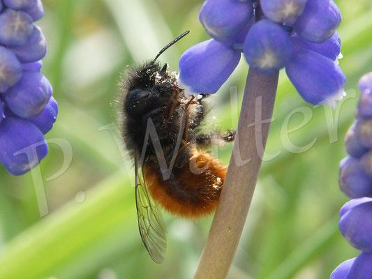 25.03.2017 : Gehörnte Mauerbiene, Weibchen, Osmia cornuta, an der Traubenhyazinthe