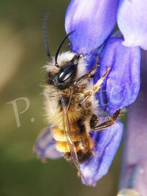 09.04.2016 : Rostrote Mauerbiene, Männchen an der Traubenhyazinthe