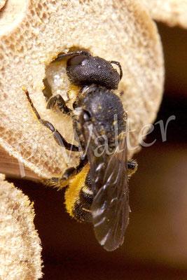 02.08.2014 : Löcherbiene beim Verschließen der Niströhre